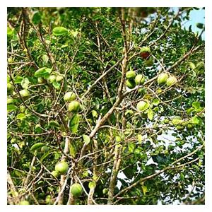 African Mango składnik